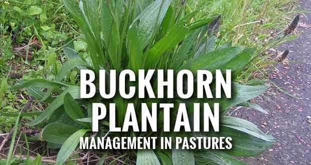 Buckhorn Plantain: Another Unwanted Pasture Weed