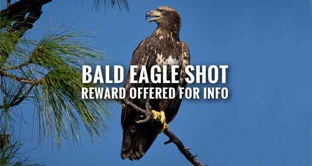 $12,500 Reward for Information Involving Bald Eagle Shooting