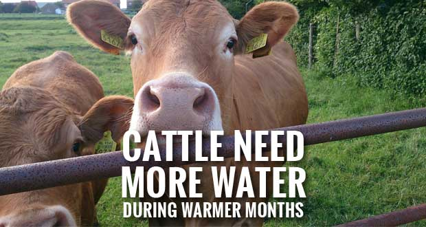 Cattle Need More Water During Warmer Months