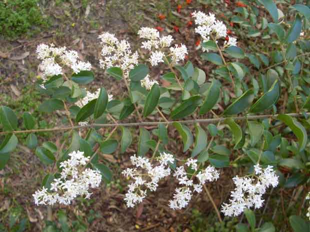 Chinese Privet Ligustrum Sinense – By John Tann from Sydney, Australia (Small leaf privet branch Uploaded by berichard) [CC BY 2.0 (http://creativecommons.org/licenses/by/2.0)], via Wikimedia Commons
