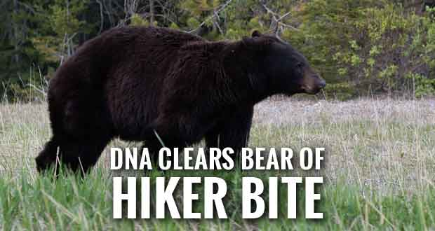 Wrong Bear Euthanized after Spence Field Bear Attack