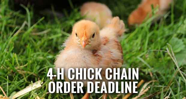 Chick Chain Teaches Kids Responsibility, Livestock Management Skills