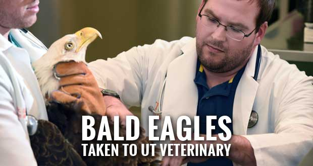Bald Eagles Shot in Meigs And Rhea County Euthanized Due to Injuries