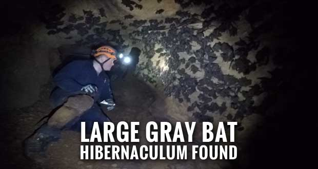 TWRA Finds Endangered Gray Bats During Cave Survey