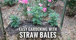 Conditioning is Essential to Straw Bale Gardening