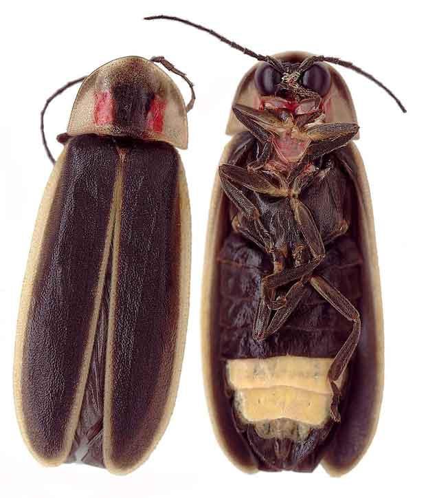 Photinus carolinus - Synchronous Firefly