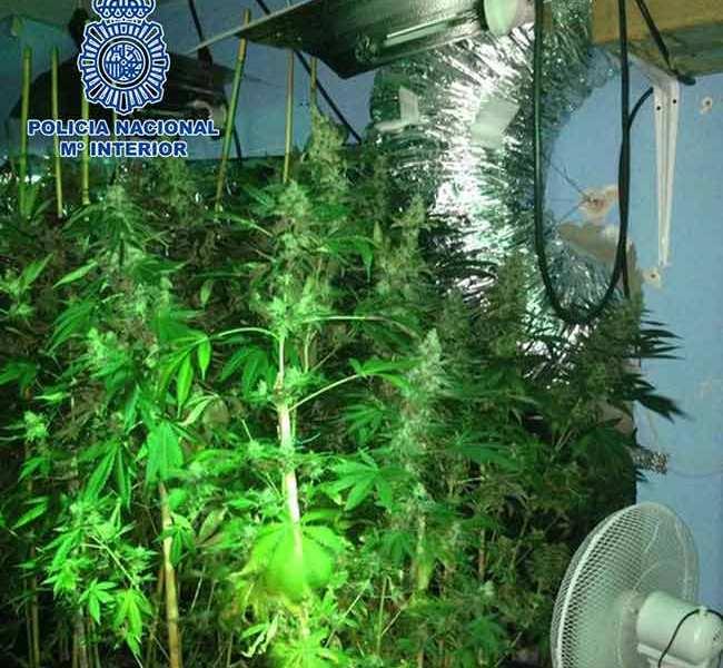 planta-marihuana-bollulos