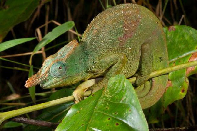 camaleon-gigante-con-cuernos-de-cuchilla-sinc