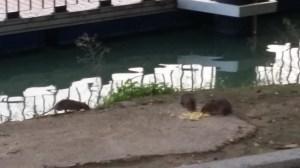 ratas-paseo-de-la-o