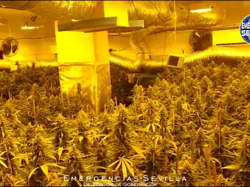 Plantación de marihuana / ES
