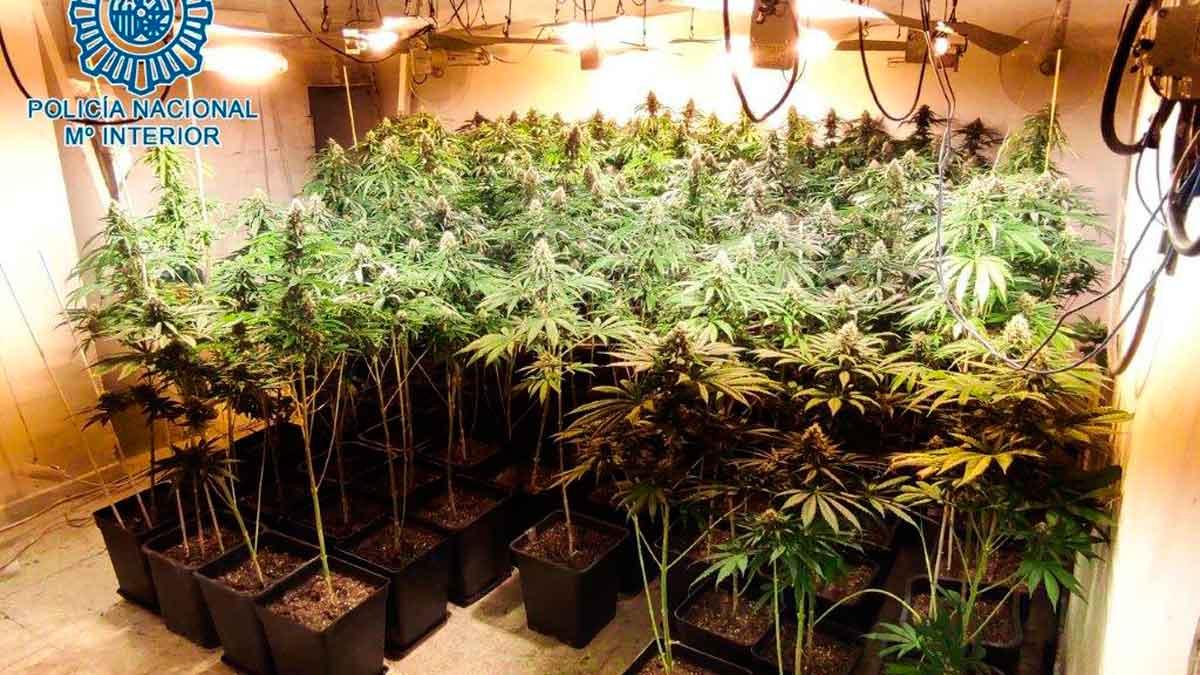 Plantas incautadas / Policía Nacional