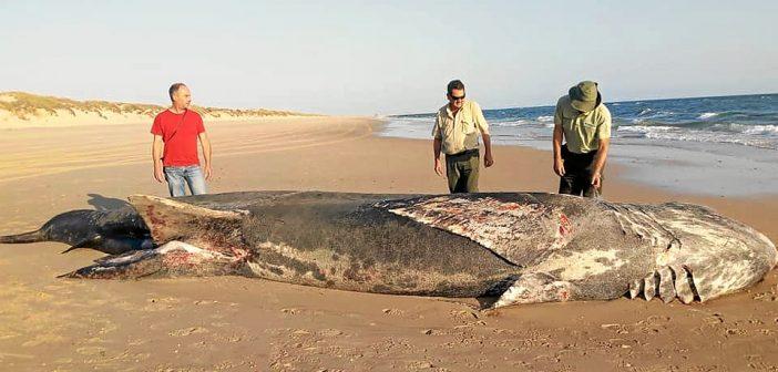 El tiburón peregrino es uno de los peces más grandes del mundo.