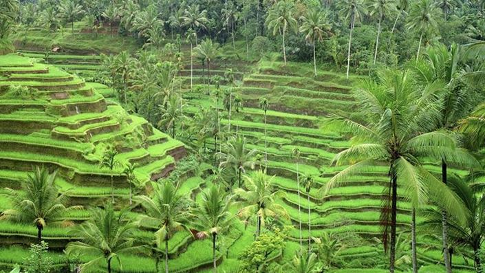 Ceking Tegallalang Rice Terrace