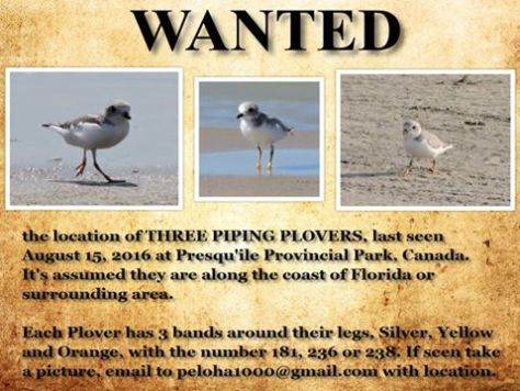 wanted-plovers