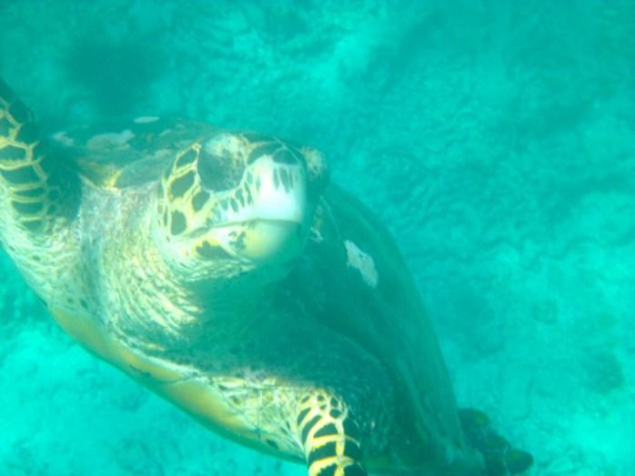 Boat Trips Seychelles Hawksbill Turtle