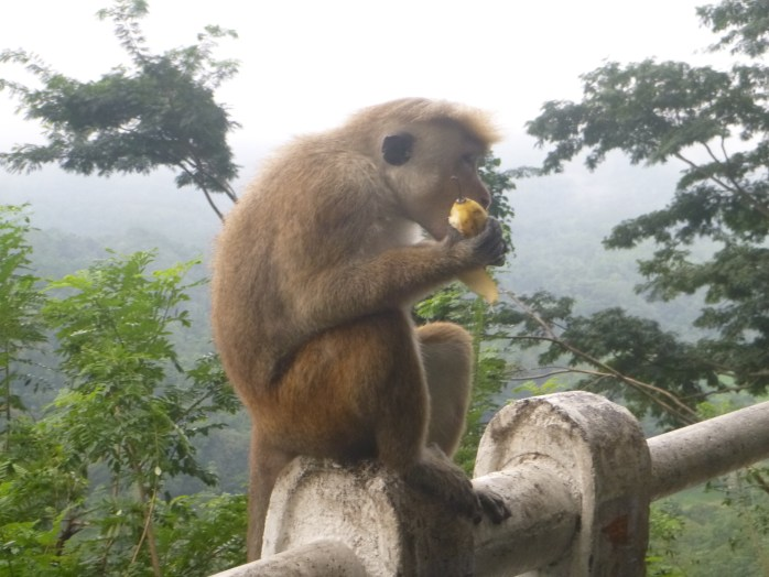 Kandy Sri Lanka feeding wild monkey