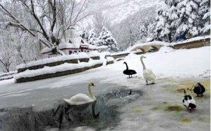 Kuğulu Park'ta Kuğular ve Ördekler