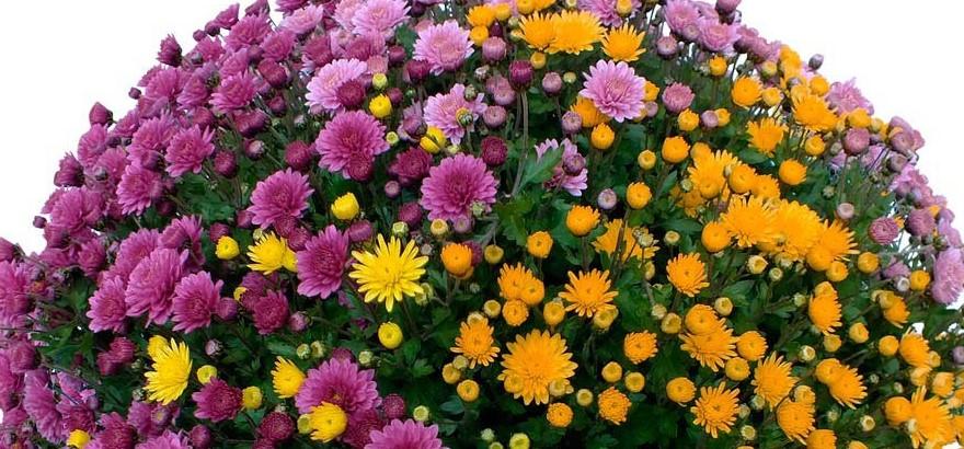 pomponette-multicolore
