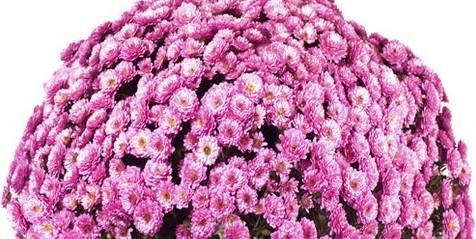 pomponnette violette