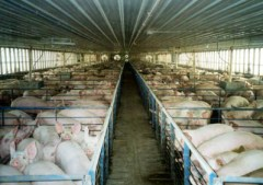 """Pigs in huge factory farms like this are, Hari says, """"stressed, depressed and permanently in panic,"""" making them vulnerable to viruses, which can then live in their manure for more than a month."""