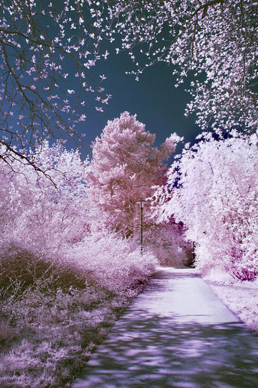 pink trees in bloom via hannes runelöv / sfgirlbybay