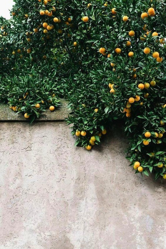 citrus trees hanging over wall / sfgirlbybay
