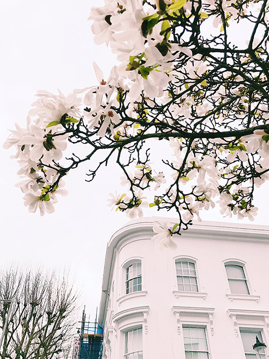 white flowers on tree in europe. / sfgirlbybay