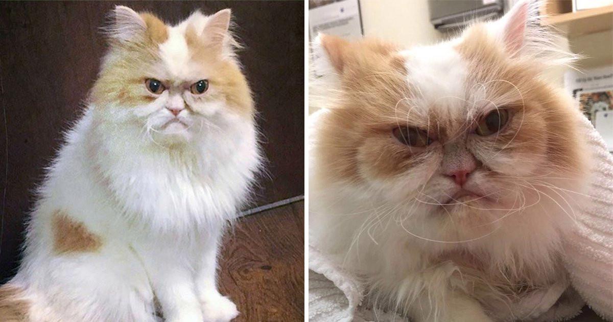 Louis, il persiano arrabbiato: il nuovo Grumpy Cat?