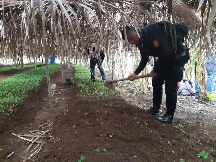 Plantación de Cocaína
