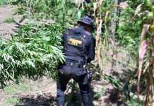 Erradicación de Marihuana