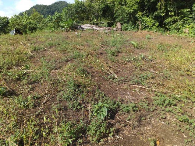 Plantas de coca erradicada