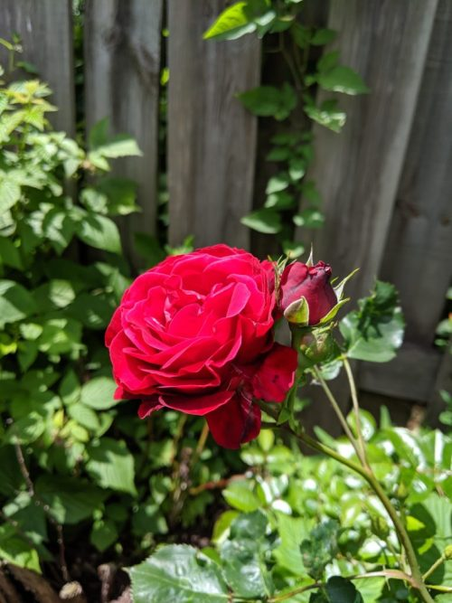 SGNScoops Magazine for June 2019 presents Rob Patz's Publishers Point. June roses