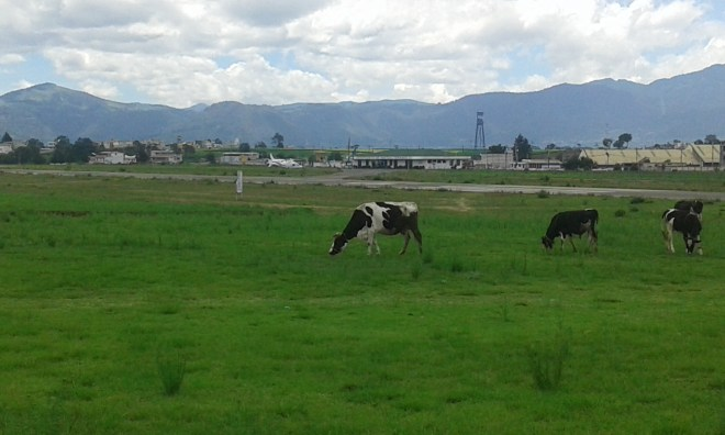 Often these milk cows graze right up at runways edge.