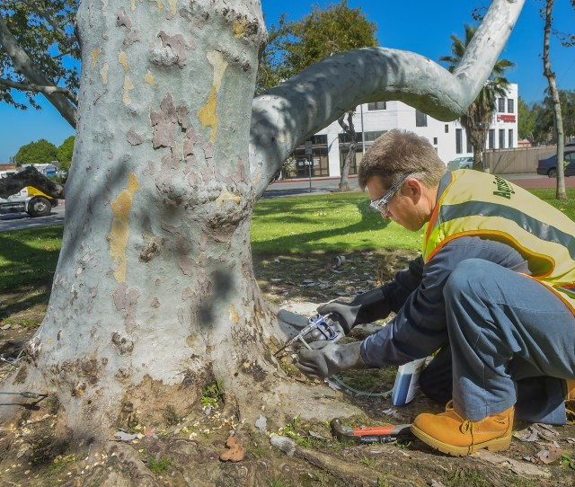 Jeremy Wooddell Trunk Injection Of Sycamore Trees With A Chemical At Baldwin Park City Hall In Baldwin Park The Trees Environmentally Sound