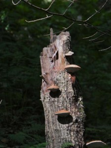 Oak stump with many well formed shelf fungi
