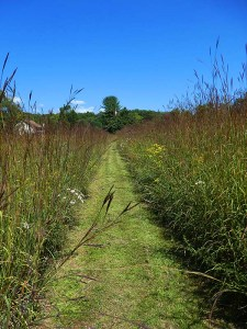 Straight path mown in the 5 foot high field grass and flowers