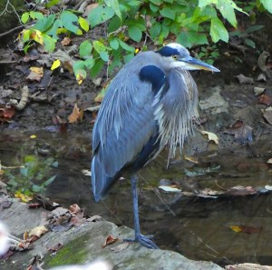 A blue heron standing beside the creek