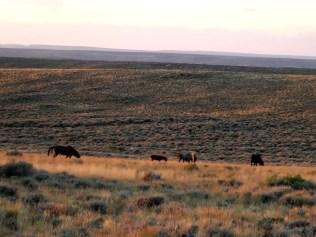 Herd of wild horses
