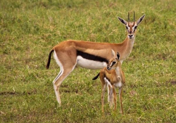 Thomson's Gazelle (Gazella rufifrons thomsoni) - Shadows ...