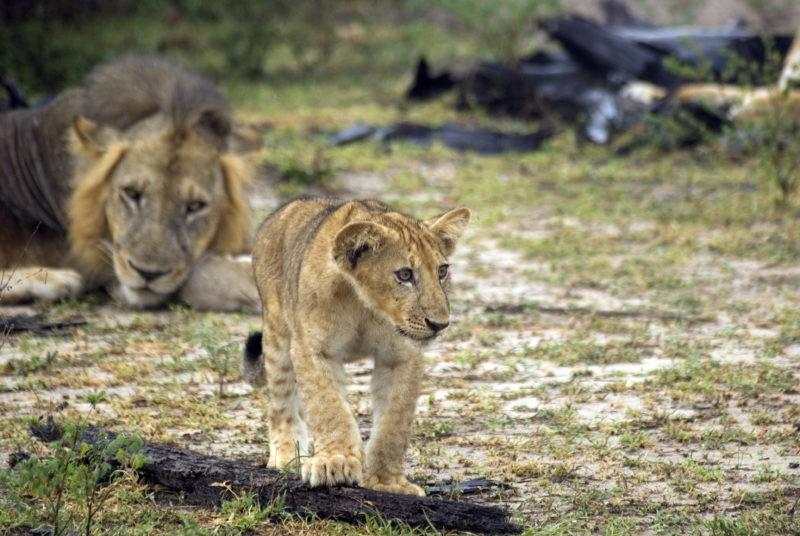 lion-selous-reserve