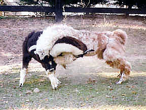 Image result for llamas fighting