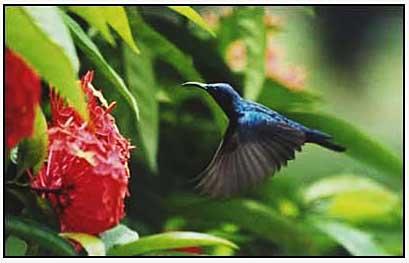 Purple backed sunbird by Shehab Uddin