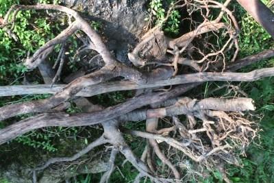 Rootsy Anchor