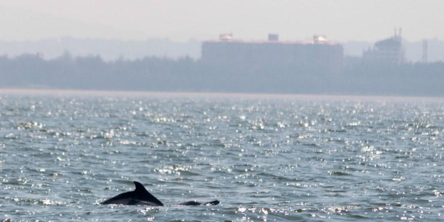 Dolphin-A2Z-BADGE-2017-blogging-challenge-theme-reveal-travel-stories-picture-speaks-louder-than-words-april-shalzmojosays-dolphins-arabian-sea-freshwater-goa-maharashtra-mumbai-tourist-India-boatcruise