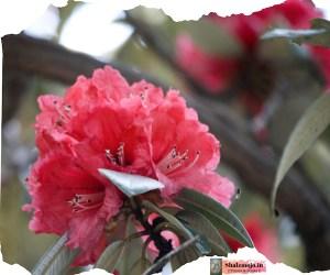 Uttarakahand- Red- Pink- White- Rhododendron- Buransh - juice- travel tales- trees- Padampuri- Bhowali