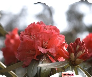 rhododendron