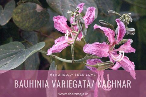 bauhinia purpurea-purple orchid tree-thursday tree love- kovidar