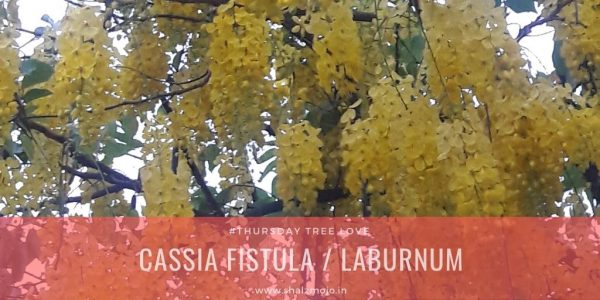 amaltas- golden shower - yellow flowers- North India- summers - Thursday Tree love