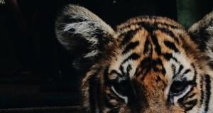 tiger_smaller
