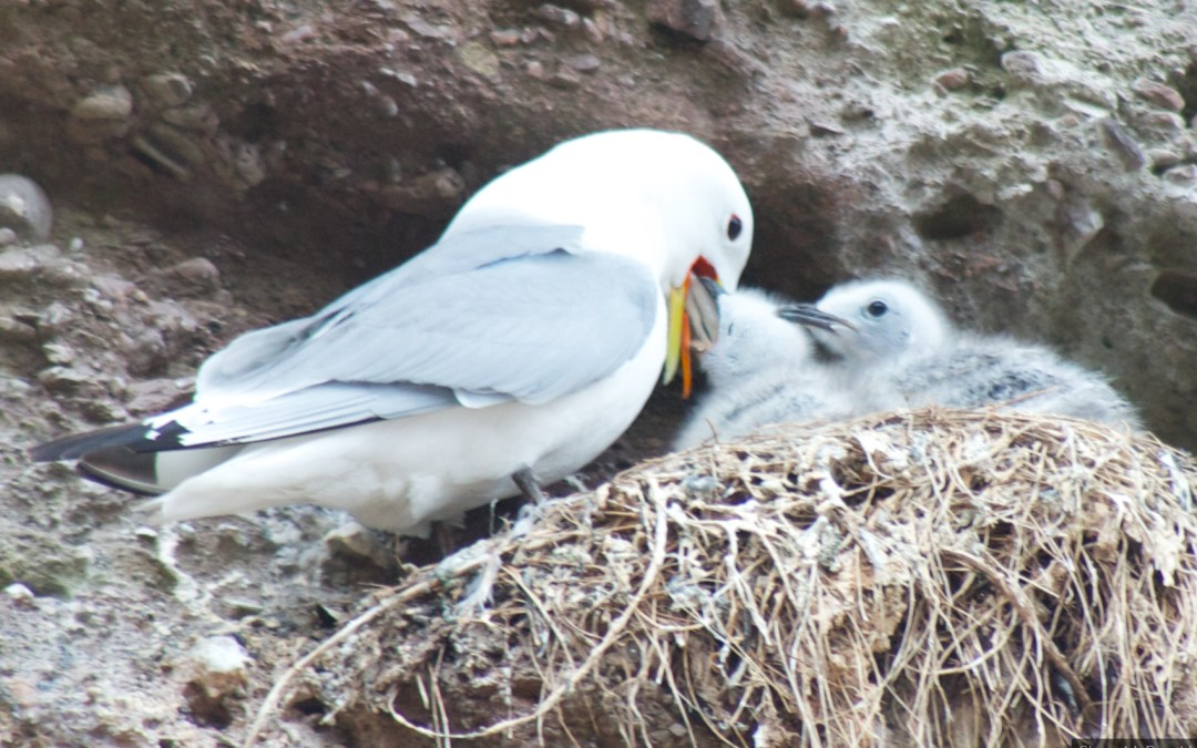 Chicks and their Mom – Seagull Chicks in Dunmore East : 26/Project 52